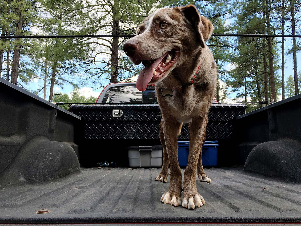 A dog all ready for a spot of truck bed camping